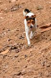 Jack Russell breed hunting Stock Photos