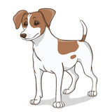 Jack russell  brown Stock Photo