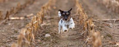 Jack Russell canino sta correndo velocemente sopra un campo di grano in autunno fotografie stock libere da diritti