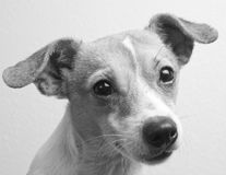 Jack Russell and Chihuahua Mix Breed Dog. Black and white portrait of a jack russell and chihuahua mixed breed dog, looking at camera, ears perked up, head Royalty Free Stock Photography