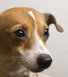 Jack Russell/Chihuahua Mix Dog Looking Up with Sweet Expression Royalty Free Stock Photography