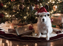 A Jack Russell Christmas Royalty Free Stock Photo