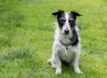 Jack Russell cross dog staring into eyes. Jack Russell terrier cross dog staring into eyes. Space for text Royalty Free Stock Photos