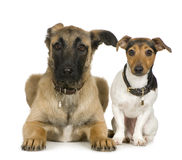 Jack russell and Crossbreed dog Royalty Free Stock Photography