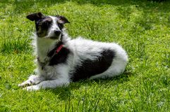 Jack Russell cruza el perro que miente abajo oliendo el aire imagenes de archivo