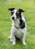 Jack Russell cruza el perro que mira algo en la distancia fotografía de archivo