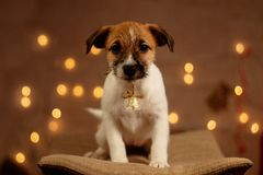 Jack russell cute little puppy portrait. Jack russell cute little puppy new year portrait stock image