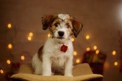 Jack russell cute little puppy portrait. Jack russell cute little puppy new year portrait royalty free stock photos