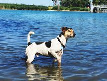 Jack Russell dans le lac image stock
