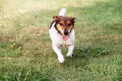 Jack Russell-de puppyhond loopt naar op groen gras royalty-vrije stock fotografie
