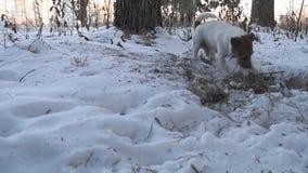 Jack Russell-de terriër graaft een gat De hond graaft Mooie hond grappig huisdier stock video