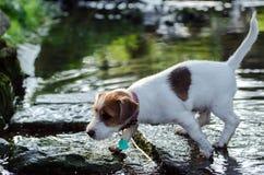 Jack Russell de terriërhond loopt op stenen met ondiep water, rust, stilte stock afbeeldingen
