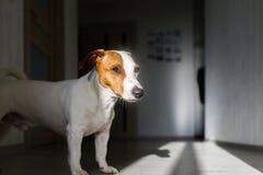 Jack Russell de tribunes van de terriërhond op de vloer in zon royalty-vrije stock afbeeldingen
