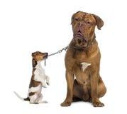 Jack Russell, der Dogue de Bordeaux mit einer Kettenleine hält Stockbild
