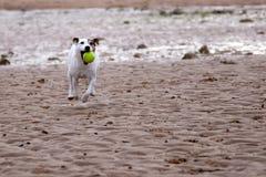 Jack Russell, der Kugel auf dem Strand spielt Lizenzfreie Stockfotos