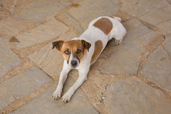 Jack Russell dog Stock Image