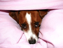 Jack Russell Dog. A resting JR in a pink duvet Stock Images