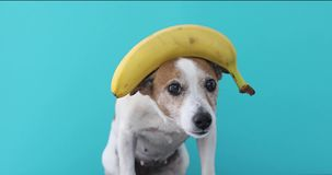 Jack russell dog balancing banana on head and a fruit falls