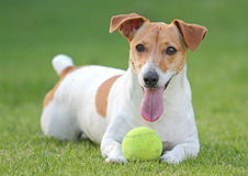 Jack Russell dog with ball Stock Image
