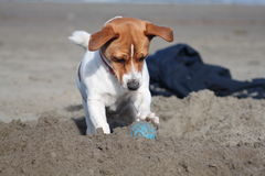 Jack russell dog and ball on the beach Royalty Free Stock Images
