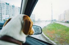 Jack russell dog behind car window watching the rain. Sad dog looking through car glass on a rainy day. Back view stock photo