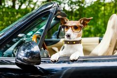 Dog drivers license driving a car royalty free stock photos