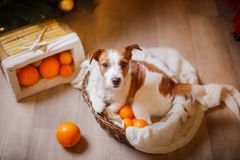 Jack Russell dog at the Christmas and New Year Royalty Free Stock Photos