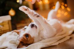 Jack Russell dog at the Christmas and New Year Stock Image