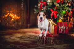 Jack Russell dog at the Christmas Royalty Free Stock Images