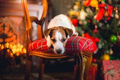 Jack Russell dog at the Christmas Stock Photography