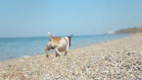 Jack Russell Dog energético que corre nos seixos vídeos de arquivo