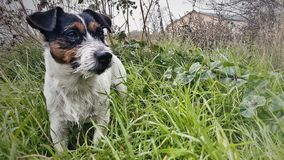 Jack russell dog in the field royalty free stock photography