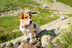 A Jack Russell dog. Stock Photography