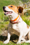 A Jack Russell dog. Royalty Free Stock Photography