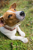 A Jack Russell dog. Royalty Free Stock Images