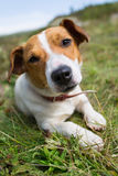 A Jack Russell dog. Stock Image