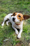 A Jack Russell dog. Royalty Free Stock Photos