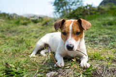 A Jack Russell dog. Stock Photos