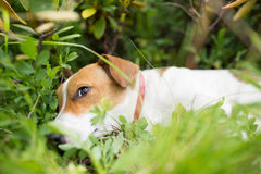 A Jack Russell dog. Stock Photo
