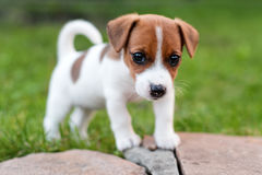 Jack russell dog on grass meadow. Little puppy walks in the park, summer Stock Images