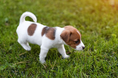 Jack russell dog on grass meadow. Little puppy walks in the park, summer Royalty Free Stock Photography