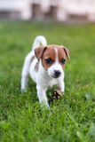Jack russell dog on grass meadow. Little puppy walks in the park, summer Royalty Free Stock Photo