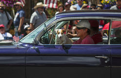 Jack Russell dog hangs in window July 4, Independence Day Parade, Telluride, Colorado, USA stock photos