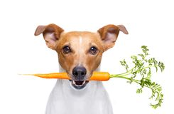Hungry vegan dog. Jack russell dog  with  healthy  vegan carrot in mouth  , isolated on white background Royalty Free Stock Image