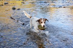 JACK RUSSELL DOG HOLDING A BIG STONE WITH ITS MOUTH IN THE RIVER. ADORABLE JACK RUSSELL DOG HOLDING A BIG STONE WITH ITS MOUTH IN THE RIVER Stock Photo