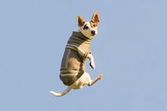 Jack Russell dog jumping up high in the air looking at the camera. A funny moment of a flying dog wearing winter clothes. Stock Images