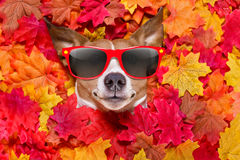 Autmn fall leaves dog. Jack russell dog , lying on the ground full of fall autumn leaves, looking at you and lying on the back torso, wearing funny sunglasses Stock Image