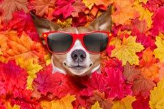 Autmn fall leaves dog Stock Image