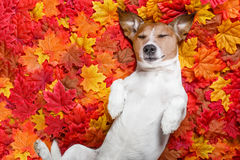 Autmn fall leaves dog Royalty Free Stock Photography