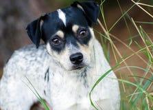 Jack Russell Dog Outdoor Adoption Photo. Jack Russell Terrier Outdoor Adoption Photo royalty free stock photo